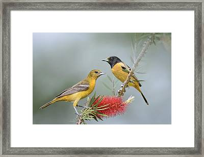 Orioles Framed Print by Bonnie Barry