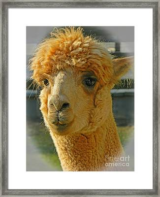 Orion The Alpaca 2 Framed Print by Emmy Marie Vickers
