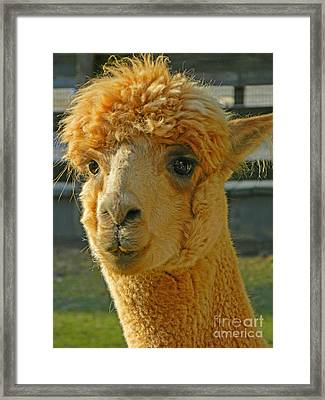 Orion The Alpaca Framed Print by Emmy Marie Vickers