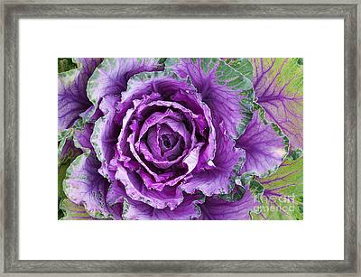 Ornamental Cabbage Framed Print by Tim Gainey