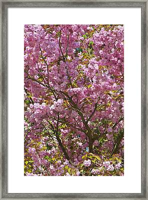 Ornamental Cherry Tree Framed Print by Sharon Talson