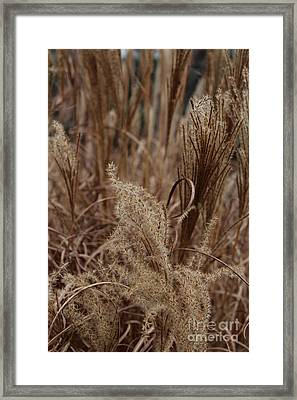 Ornamental Grass Framed Print by Arlene Carmel