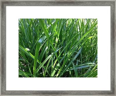 Ornamental Grass Framed Print by Ron Torborg