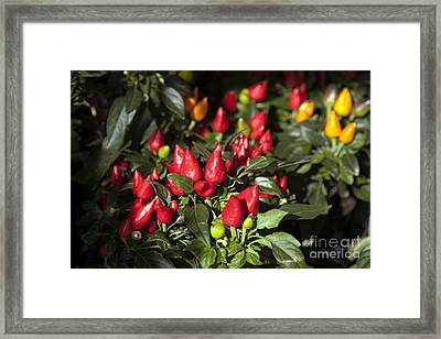 Ornamental Peppers Framed Print by Peter French