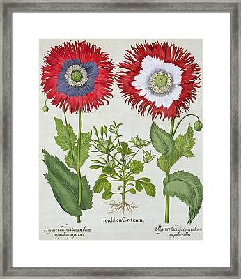 Ornamental Poppies, From The Hortus Framed Print by German School