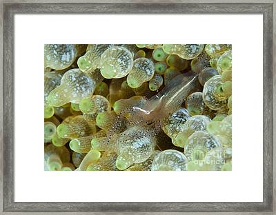 Ornate Anemone Shrimp In Anemone Framed Print by Steve Jones