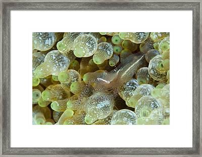 Ornate Anemone Shrimp In Anemone Framed Print by Steve Jones