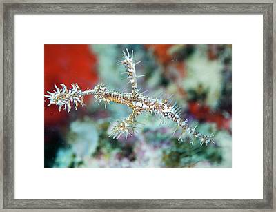 Ornate Ghostpipefis Framed Print