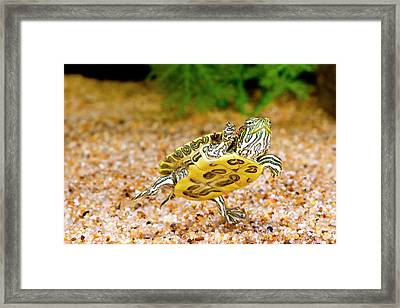 Ornate Red Ear Turtle, Chrysemys Framed Print by David Northcott