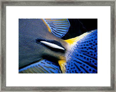 Ornate Surgeonfish Tail Framed Print by Jeff Rotman