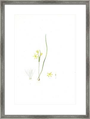 Ornithogalum Fistulosum Framed Print