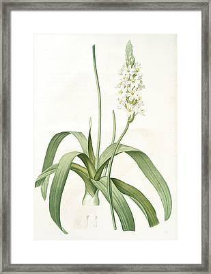 Ornithogalum Lacteum, Ornithogale Blanc De Lait Framed Print by Artokoloro