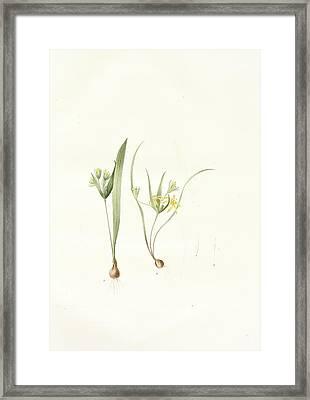 Ornithogalum Luteum-o. Minimum Framed Print by Artokoloro