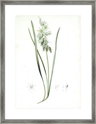 Ornithogalum Nutans, Ornithogale Penché Drooping Star Framed Print by Artokoloro
