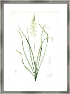 Ornithogalum Pyrenaicum, Ornithogale Ds Pyrénées Framed Print