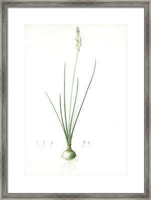 Ornithogalum Tenuifolium, Ornithogalum Graminifolium Framed Print by Artokoloro