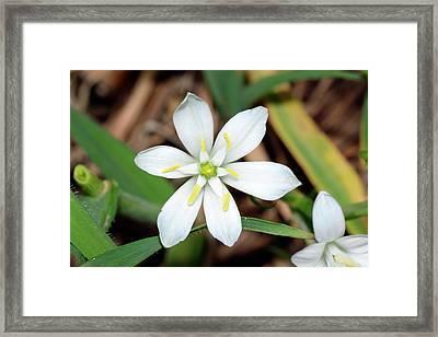 Ornithogalum Umbellatum Flower Framed Print by Bruno Petriglia