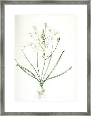 Ornithogalum Umbellatum, Ornithogale En Ombelle Star Framed Print by Artokoloro