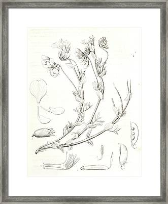 Orobus Littoralis, 1. Vexillum, Wing, And A Keel Petal, 2 Framed Print