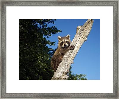 Orphaned Raccoon Framed Print by James Peterson