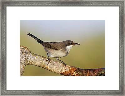 Orphean Warbler (sylvia Hortensis) Framed Print by Photostock-israel