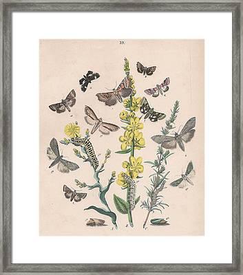 Orthosdiae - Cleophanidae - Cucullidae - Heliothidae - Anartidae - Acontidae Framed Print by W Kirby