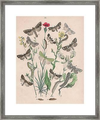 Orthosidae - Hadenidae Framed Print by W