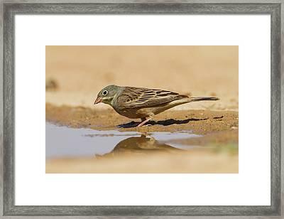 Ortolan Bunting (emberiza Hortulana) Framed Print by Photostock-israel