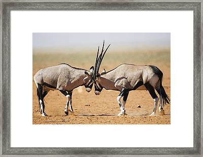 Oryx Males Fighting Namibrand Nature Framed Print by Theo Allofs