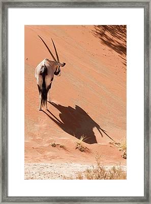 Oryx (oryx Gazella Framed Print by Jaynes Gallery