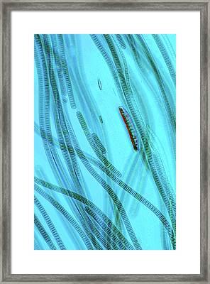 Oscillatoria Cyanobacteria Framed Print by Marek Mis