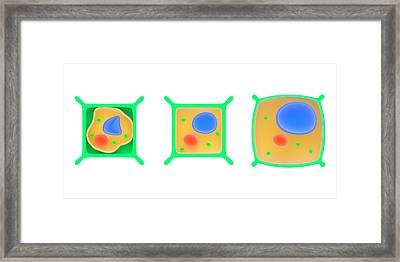 Osmosis In Plant Cells Framed Print by Science Photo Library