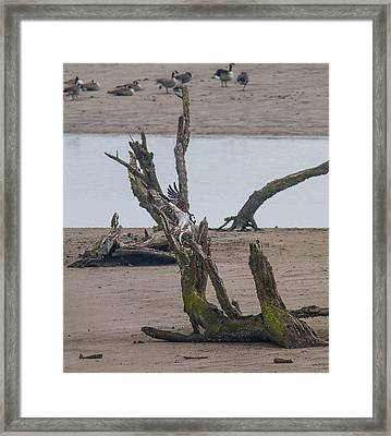 Ospray With Fish Framed Print