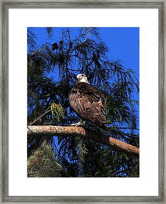 Framed Print featuring the photograph Osprey 005 by Chris Mercer