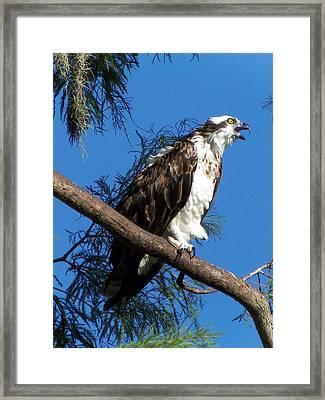 Osprey 102 Framed Print by Chris Mercer