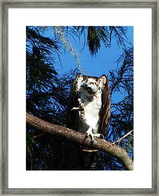 Osprey 104 Framed Print by Chris Mercer