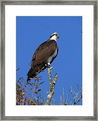 Osprey 109 Framed Print by Chris Mercer