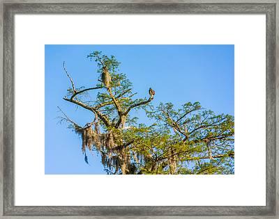 Osprey 3 Framed Print by Steve Harrington