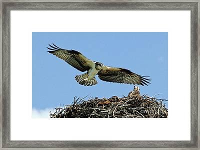 Osprey 4 Framed Print