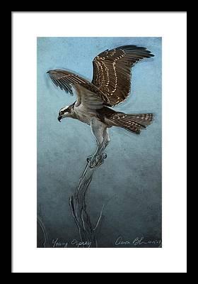 Osprey Framed Prints