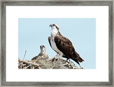 Osprey And Chick Framed Print