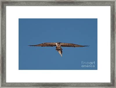 Osprey Framed Print by Bahadir Yeniceri