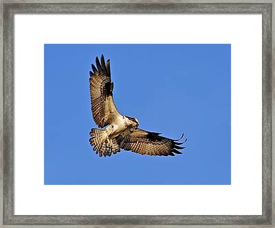 Osprey Beauty Framed Print