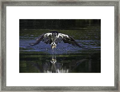 Osprey Bird Of Prey Framed Print