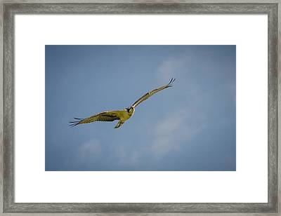 Framed Print featuring the photograph Osprey by Bradley Clay
