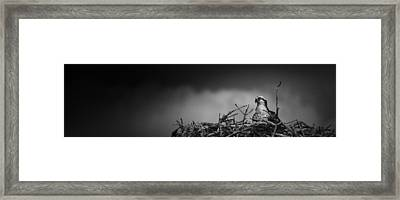 Osprey Framed Print by Bradley R Youngberg