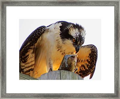 Framed Print featuring the photograph Osprey Breakfast by Dianne Cowen