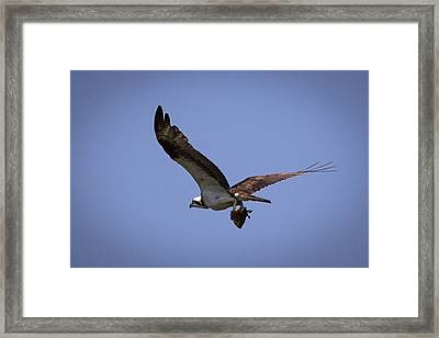 Osprey Carrying Fish  Framed Print