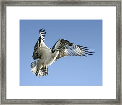 Osprey Carrying Twig Framed Print