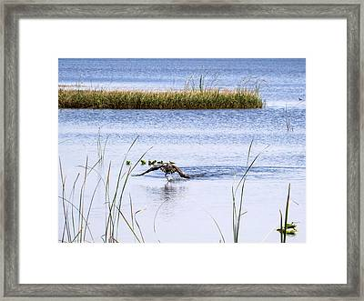 Osprey Caught A Fish Framed Print
